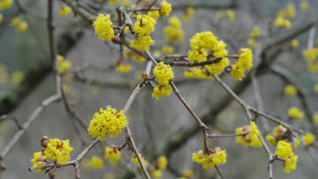 iori gialli di marzo_corniolo