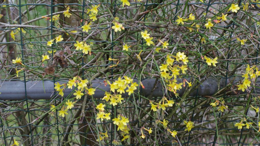 iori gialli di marzo_gelsomino d'inverno