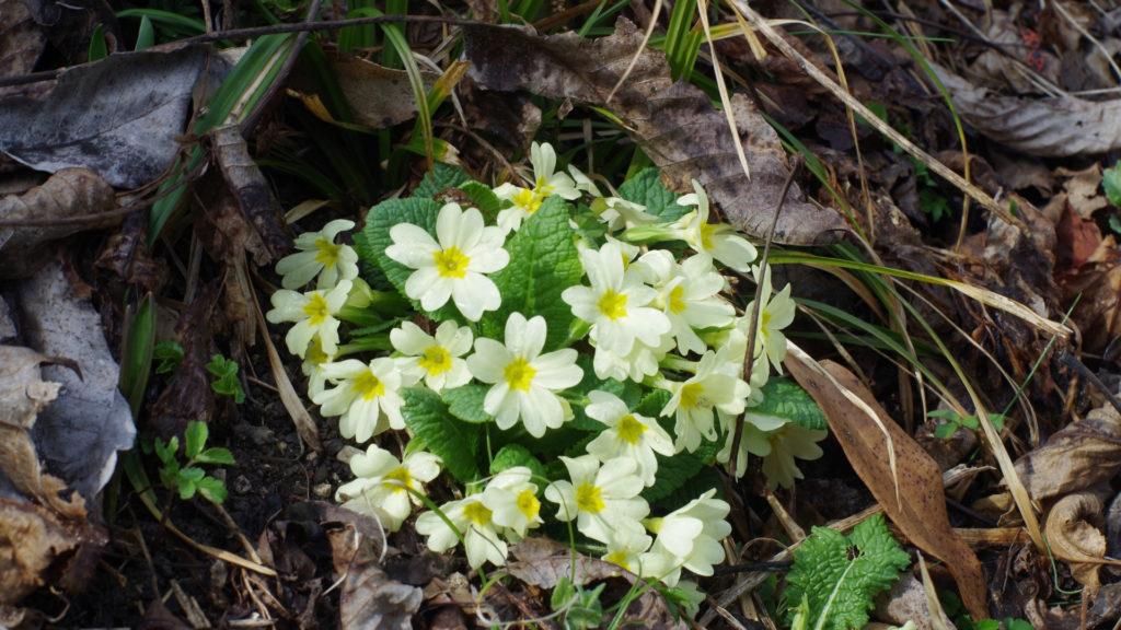 iori gialli di marzo_primula comune