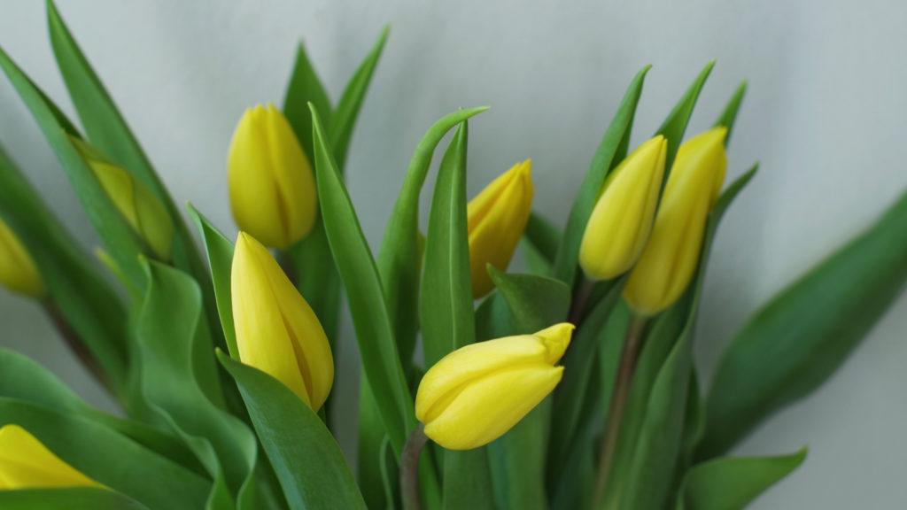 iori gialli di marzo_tulipani